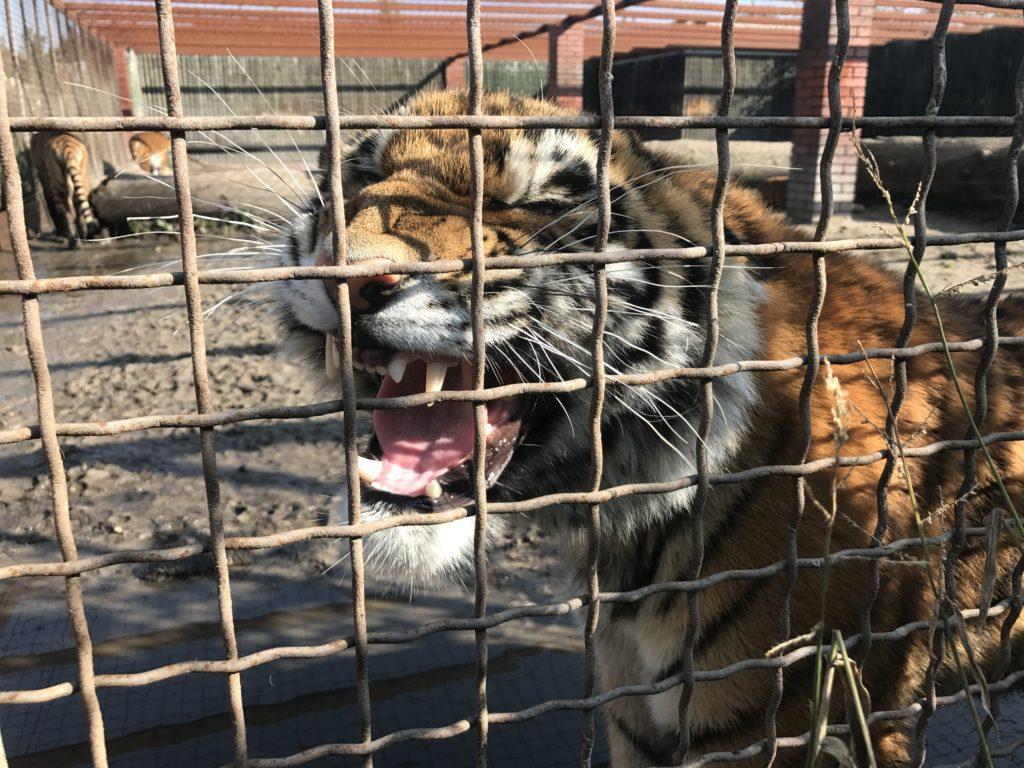 Tygrys pokazujący zęby za kratami wybiegu