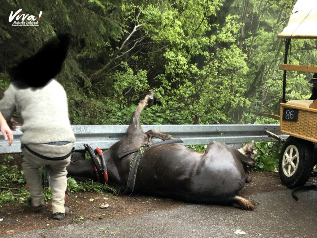 koń leżący na asfalcie po wypadku na trasie do Morskiego Oka