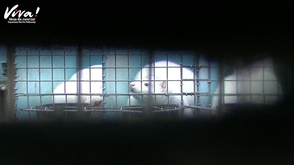 Śledztwo na fermie norek w Pabianicach